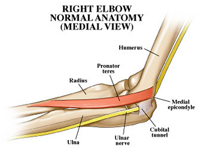 Right Elbow Normal Anatomy (Medial View)